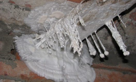 Majavammi seeneniidistik ja -väädid keldri seinal ja laes